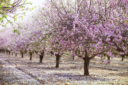 Alley of almond trees blossoming with pink flowers in sunshine before sunset