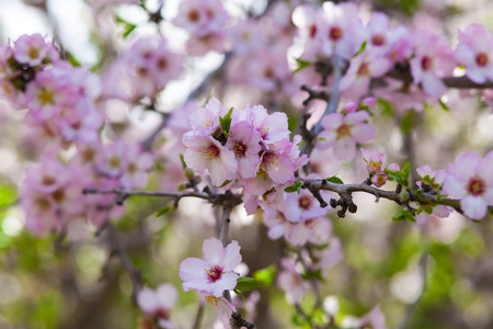 almond bud: Lots of pink almond flowers in full blossom