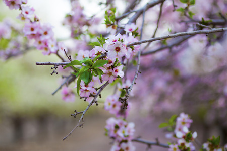 Pink flowers of almond tree in spring blossom on the nearly bare branches Stock Photo