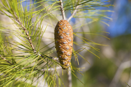 Single pinecone on the pine tree branch under the sunset sunlight Stock Photo