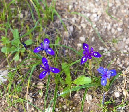 Several wild iris flowers blooming on the stony soil