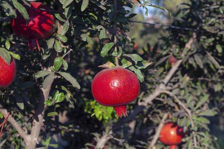 Organic pomegranate farm growing pomegranates Stock Photo