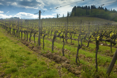 General view of a hillside vineyard under dramatic sky before sunset