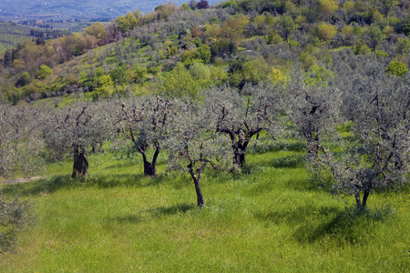 Silver olive trees on a hillslope meadow