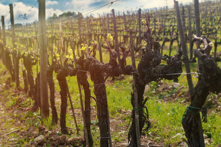 Closeup on the vines in a hillside vineyard in Chianti, Italy at sunset (sunset lighting) Stock Photo