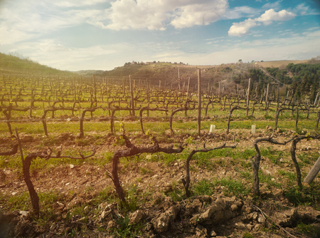 Amazing view on an early spring wineyard in Tuscany at sunset (sunset lighting)