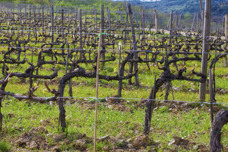 Closeup on the yet naked vines in a vineyard in early spring