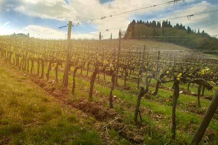 Hillside vineyard under golden sunset light