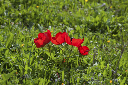Cluster of wild red anemones in the spring meadow Stock Photo