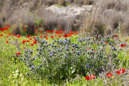 Spring meadow with blue and red flowers in blossom