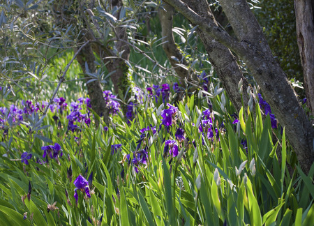 Wild growing violet irises in the forest