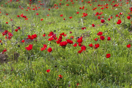 Green meadow with plenty of red anemones in spring