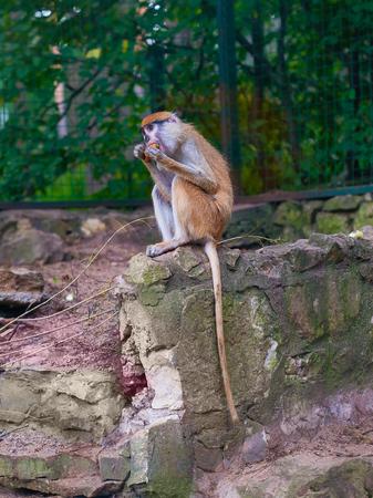 Funny macaque monkey feeding on carrots Stockfoto