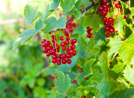 Single bunch of red currant berries on the bush