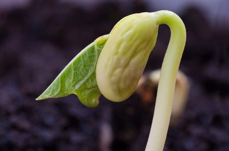 germinaci�n: Jud�as verdes pl�ntula empezando a abrir. Macro con dof poco profunda.