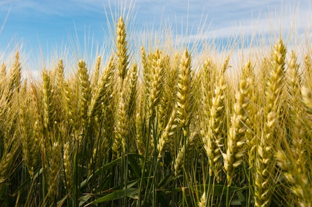 Yellow wheat growing in a farm field Archivio Fotografico
