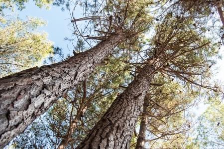 brushwood: Pine forest tree