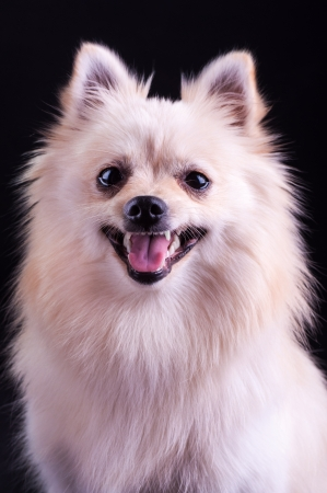 studioshot: Pomeranian Spitz dog on a black background