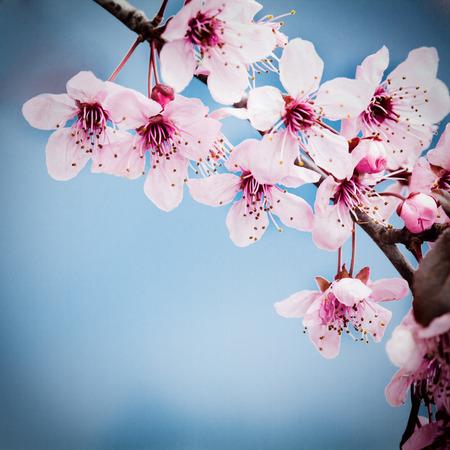 cereza: Los cerezos en flor de primavera en azul backkground
