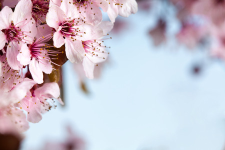 Spring pink cherry blossom on blue background
