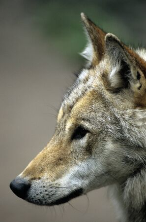 Young wolf profile