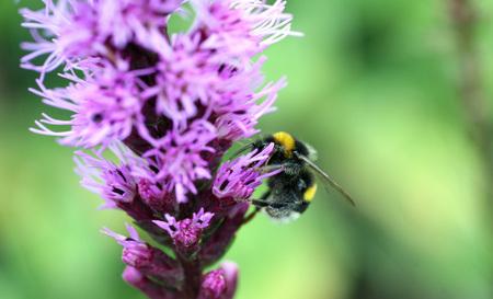 floristics: bumblebee on a lilac flower Stock Photo