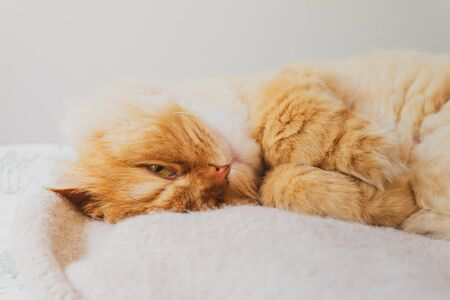 Lovely Image of a Cute Looking directly to the camera Relaxed and Snuggling on the bed. Animal Friendly Concept. Golden Persian Cat Kitten Close up for Background.