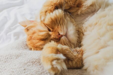 Cute Cat Sleeping and Relaxed Snuggling on the bed. Animal Friendly Concept. Golden Persian Cat Kitten Close up for Background.