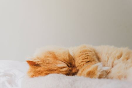 Relaxing Image of a Cute and Lovely Cat Sleeping and Relaxed Snuggling on the bed. Animal Friendly Concept. Golden Persian Cat Kitten Close up for Background. Фото со стока
