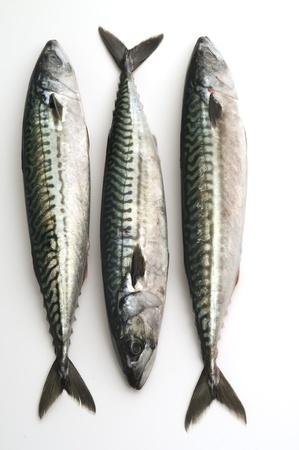 whitefish: sgombro fish isolated on white Stock Photo