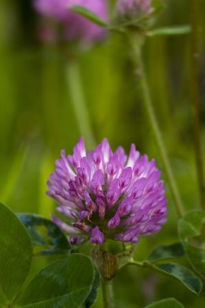 trefoil: clover trefoil in a spring day