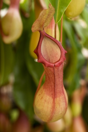 nepenthes carnivorous plant photo