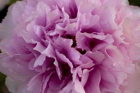 pink paeonia flower duchesse de morny photo