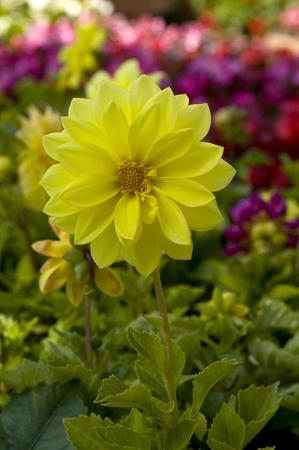 beautiful dalhia flower closeup