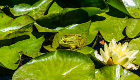 Frog on green lily leafs in water Editorial
