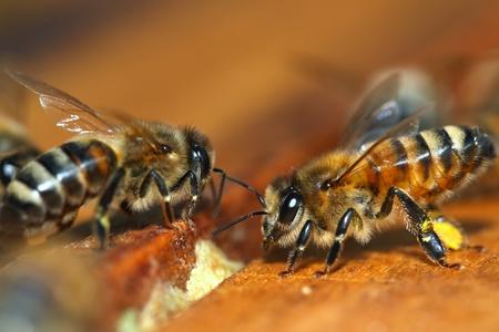 ミツバチのマクロ 写真素材
