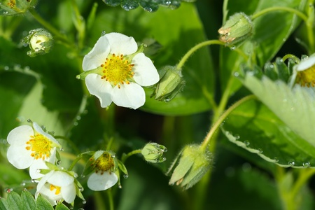 uncultivated: flowering strawberry