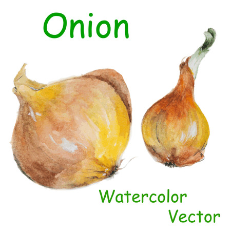 food market: Vector illustration of watercolor onion, hand drawn in realistic style