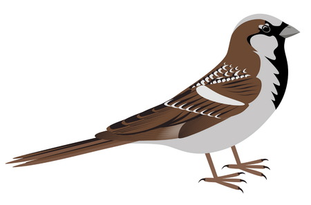 vertebrate: Realistic sparrow on white background. Sparrow bird vector illustration