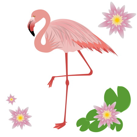 looking straight: Illustration of a Flamingo. Flamingo isolated on white background. illustration pink flamingo. Exotic bird.