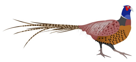 Illustration of Pheasant. Pheasant isolated on white background. illustration Pheasant.