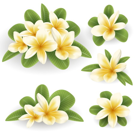 White and yellow Plumeria Flower 版權商用圖片 - 78933790
