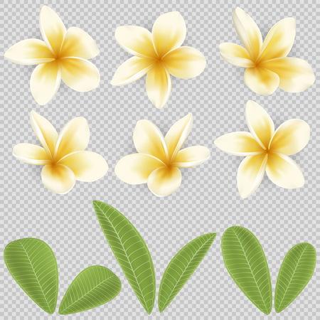 白と黄色のプルメリアの花