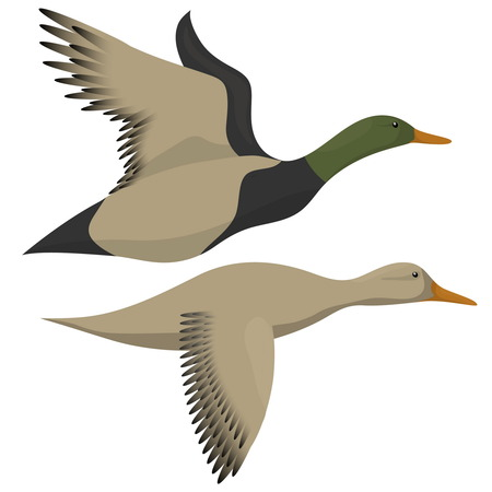 Drake and duck flying