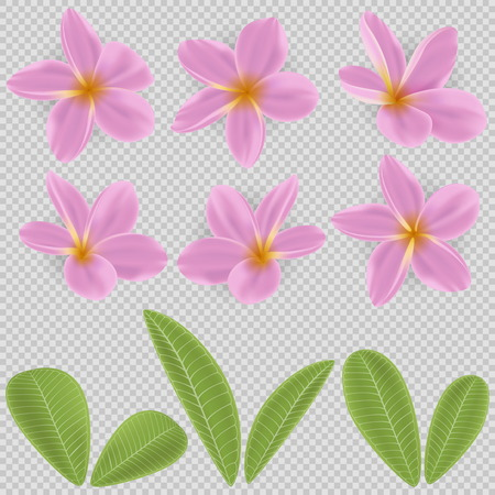 pink and yellow Plumeria Flower Фото со стока - 80443162