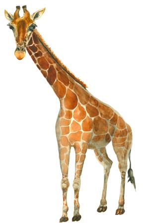 キリンの水彩スケッチ 写真素材