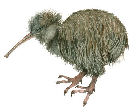 Watercolor bird kiwi Stock Photo