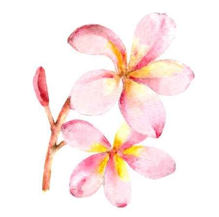 Tropical exotic blooming plumeria branch