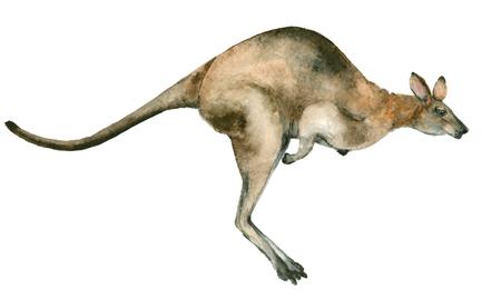 オーストラリア カンガルーの水彩画