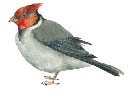 Watercolor cardinal bird